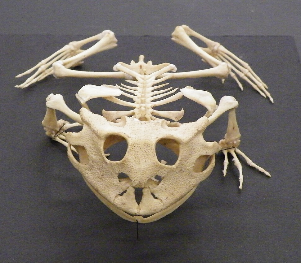 Ceratophrys cornuta skeleton front