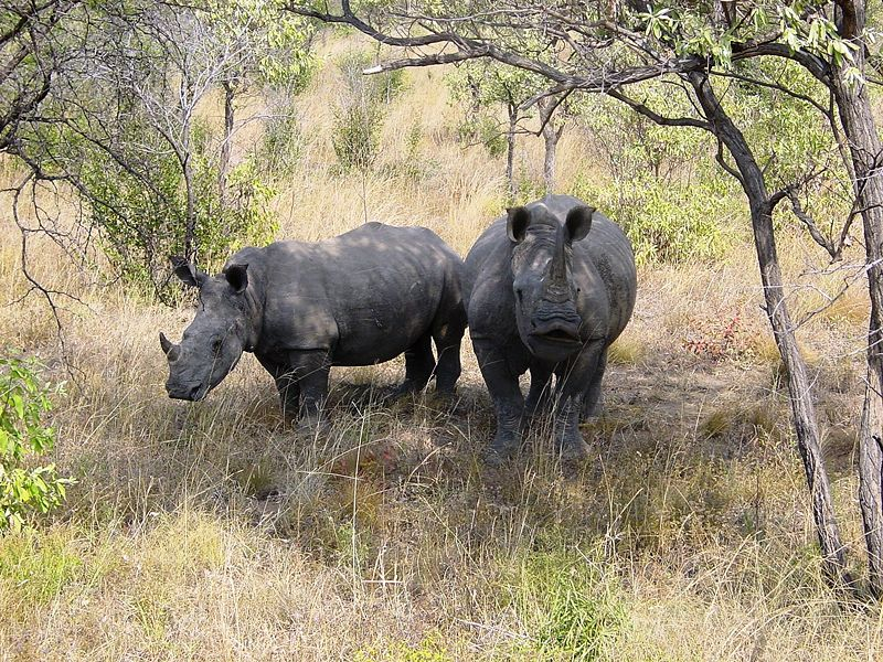 Datei:Ceratotherium simum Kruger Park 03.JPG