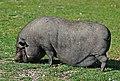 Cerdo Tailandes-Naturlandia (2).jpg