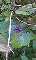 Cetonia floralis - samien.jpg
