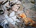 Chó và gà của nhà cậu Cảm ngày 09 tháng 1 năm 2019 (4).jpg