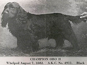 American Cocker Spaniel - Ch. Obo II, considered to be the foundation sire of the American Cocker Spaniel.