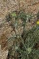 Chaenactis glabriuscula 7889.JPG