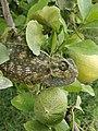 Chameleon in lemon tree 2019 - 01.jpg