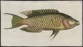 Cheilinus chlorurus - 1774-1804 - Print - Iconographia Zoologica - Special Collections University of Amsterdam - UBA01 IZ13900028.tif