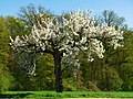 Cherry Tree - panoramio (1).jpg