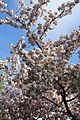 Cherry tree in bloom @ Garden @ Champs Elysée @ Paris (26392149081).jpg