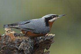 Chestnut-bellied Nuthatch Ghatgarh Uttarakhand India 03.12.2014.jpg