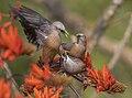 Chestnut-tailed starling - কাঠ শালিক.jpg