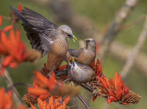 Chestnut-tailed starling - কাঠ শালিক