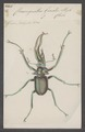 Chiasognathus - Print - Iconographia Zoologica - Special Collections University of Amsterdam - UBAINV0274 018 13 0004.tif