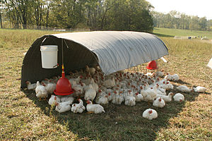 Free range chickens seek shade in their simple...