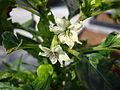 Chilipeper Bloemen.JPG