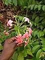 Chinese honeysuckle, Rangoon Creeper (Combretum indicum) .jpg