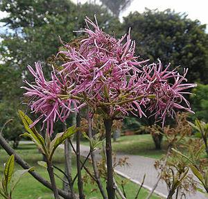 Chionanthus - Chionanthus pubescens