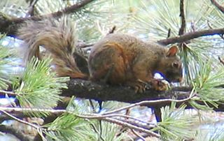 Mexican fox squirrel Species of rodent