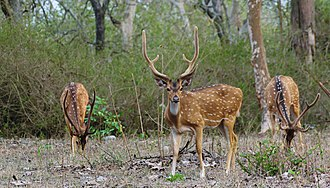 Chital - Chital at Bandipur National Park