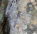 Chlorolestes draconicus 020454-1.jpg