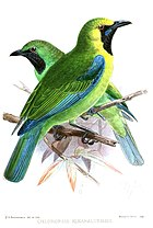 Картина двух зеленых птиц с темным горлом, одна более желтая вокруг лица