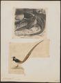 Chrysolophus amherstiae - 1700-1880 - Print - Iconographia Zoologica - Special Collections University of Amsterdam - UBA01 IZ16900260.tif