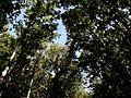 Cicadas in oak forest - Цикады в дубовом лесу (28176658510).jpg
