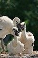 Ciconia ciconia -Artis Zoo, Netherlands -chicks-8a.jpg