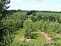 Cider orchards - geograph.org.uk - 480543.jpg