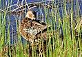 Cinnamon Teal on Seedskadee National Wildlife Refuge (26212723153).jpg