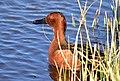 Cinnamon teal at Seedskadee National Wildlife Refuge (27156541317).jpg