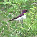 Cinnyricinclus leucogaster, Limpopo, South Africa 7.jpg