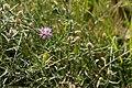 Cirsium arvense-Chardon des champs-20160617.jpg