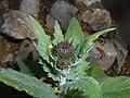 Cirsium waldsteinii 2016-04-28 9307.jpg