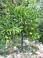 Citrus × tangelo.JPG