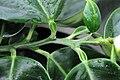 Citrus maxima (Pampelmuse) 005.jpg