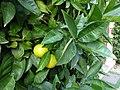 Citrus sinensis Lucca 03.jpg