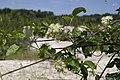 Clematis vitalba sabliere-morriere-plailly 60 30062008 1.jpg