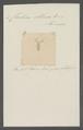 Cleodora obtusa - - Print - Iconographia Zoologica - Special Collections University of Amsterdam - UBAINV0274 080 07 0014.tif