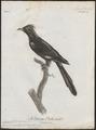 Coccystes serratus - 1796-1808 - Print - Iconographia Zoologica - Special Collections University of Amsterdam - UBA01 IZ18800275.tif