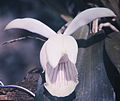 Cochleanthes amazonica fl 2.jpg
