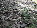 Cocos nucifera - Kerala 7.jpg