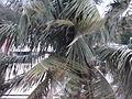 Cocotiers dans le cyclone (3271826554).jpg