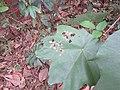 Coladenia indrani Moore, 1865 – Tricolor Pied Flat Life cycle at Peravoor hostplant pterospermum diversifolium.jpg (81).jpg