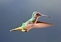 Colibrí Cola de Oro (Golden-tailed Sapphire Hummingbird).jpg