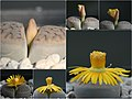 Collage Lithops schwantesii.jpg