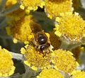 Colletes sp. possibly C. daviesanus - Flickr - gailhampshire (1).jpg