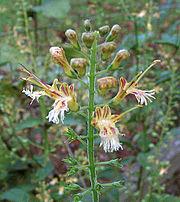 Collinsonia canadensis flowers.jpg