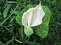 Colocasia - ചേമ്പ് 01.jpg