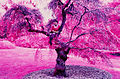 Color infrared SFOSEAYYZ-tree.jpg