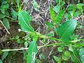 Commelina benghalensis Nepal 13.JPG