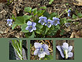 Common Dog-violet Collage.jpg